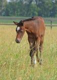 Um potro recém-nascido está em uma grama Imagem de Stock