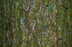 Um pouco do líquene em uma casca musgoso de uma textura da árvore fotos de stock