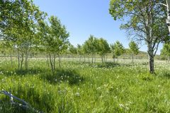 Um prado de íris selvagens misturou-se em um bosque de tremer álamos tremedores imagem de stock