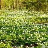 Um prado em uma floresta completamente de flores de florescência do branco Foto de Stock Royalty Free