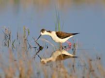 Um preto fêmea voou o pernas de pau na plumagem da criação de animais fotografia de stock royalty free