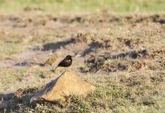 Um Preto-papa-moscas do sul bonito Foto de Stock Royalty Free