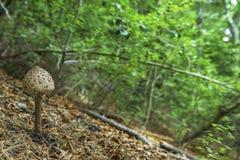 Um procera novo de Macrolepiota na natureza fotos de stock