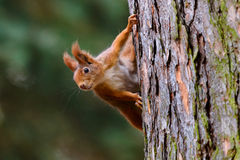 Um protetor do esquilo na árvore Imagem de Stock