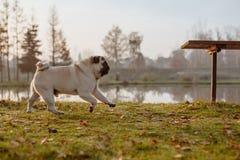 Um pug adulto, cão, animal de estimação, animal está correndo em um parque em um outono, dia ensolarado foto de stock royalty free
