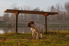 Um pug bonito do cachorrinho que anda na grama, sob um banco perto de uma lagoa e está olhando para a frente imagens de stock royalty free