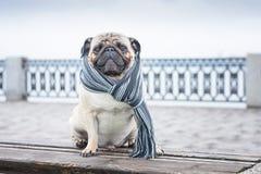 Um pug dândi lindo do cão em um lenço listrado imagens de stock royalty free