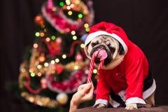 Um pug engraçado do Natal em um traje de Santa Claus lambe um bastão de doces perto da árvore de Natal Foto de Stock