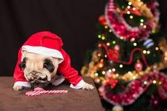 Um pug engraçado do Natal em um traje de Santa Claus lambe um bastão de doces perto da árvore de Natal Fotografia de Stock Royalty Free