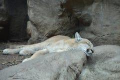 Um puma no ar livre Foto de Stock Royalty Free