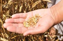 Um punhado das grões do trigo na mão Fotos de Stock