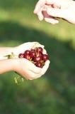Um punhado de cerejas frescas vermelhas em um dia ensolarado. foto de stock royalty free