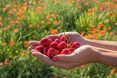 Um punhado de cerejas suculentas das bagas nas mãos das mulheres Imagens de Stock