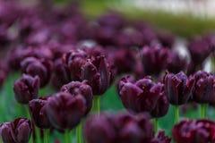 Um punhado de flores roxas dispersou em um grande jardim Foto de Stock