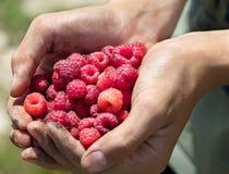 Um punhado de framboesas maduras vermelhas nas mãos Imagens de Stock