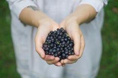 Um punhado de mirtilos maduros uva-do-monte, mirtilo, blaeberry, mirtilo nas mãos de uma jovem mulher ou menina da floresta foto de stock