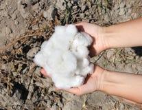 Um punhado do algodão maduro nas palmas Foto de Stock Royalty Free
