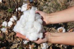 Um punhado do algodão maduro nas palmas no fundo da planta Fotos de Stock