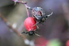 Um quadril vermelho e um inoperante no arbusto Fotos de Stock