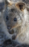Quokka foto de stock royalty free