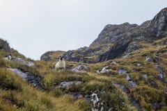 Um Ram em um lado da montanha Fotos de Stock Royalty Free