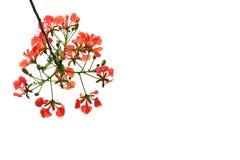 Um ramalhete bonito da flor de pavão alaranjada no fundo isolado branco imagem de stock royalty free