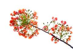 Um ramalhete bonito da flor de pav?o alaranjada no fundo isolado branco imagens de stock