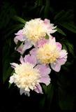 Um ramalhete bonito das peônias. Fotos de Stock