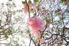 Um ramalhete da flor cor-de-rosa bonita da flor do tabebuia em uma árvore com fundo branco do céu imagem de stock