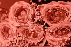 Um ramalhete das rosas com gypsophila coral-colorido imagens de stock