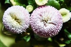 Um ramalhete de flores bonitas da margarida Foto de Stock