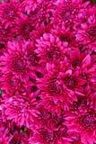 Um ramalhete de flores cor-de-rosa bonitas do crisântemo fora Crisântemos no jardim fotografia de stock