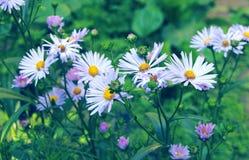 Um ramalhete de margaridas bonitas brilhantes Flor da camomila imagem de stock royalty free