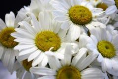Um ramalhete do close-up das flores da margarida na luz do dia com foco seletivo fotos de stock