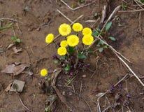 Um ramalhete do coltsfoot amarelo brilhante floresce emergir na mola fotos de stock