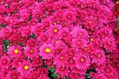 Um ramalhete do crisântemo bonito floresce fora Crisântemos no jardim Chrisanthemum colorido da flor Teste padrão floral foto de stock royalty free