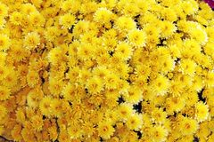 Um ramalhete do crisântemo bonito floresce fora Crisântemos no jardim Chrisanthemum colorido da flor Teste padrão floral fotografia de stock royalty free