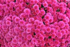 Um ramalhete do crisântemo bonito floresce fora Crisântemos no jardim Chrisanthemum colorido da flor Teste padrão floral fotos de stock royalty free
