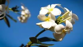 Um ramalhete do frangipani bonito imagem de stock royalty free