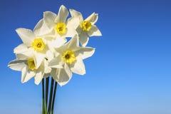 Um ramalhete dos narcisos amarelos brancos com um centro amarelo contra um céu azul e uma grama em um dia ensolarado Fotos de Stock
