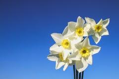 Um ramalhete dos narcisos amarelos brancos com um centro amarelo contra um céu azul e uma grama em um dia ensolarado Imagens de Stock