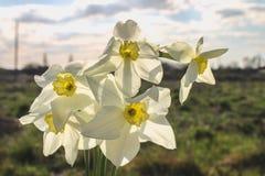 Um ramalhete dos narcisos amarelos brancos com um centro amarelo contra um céu azul e uma grama em um dia ensolarado Imagem de Stock Royalty Free