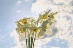 Um ramalhete dos narcisos amarelos brancos com um centro amarelo contra um céu azul e uma grama em um dia ensolarado Imagens de Stock Royalty Free