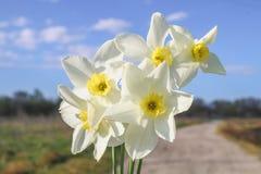 Um ramalhete dos narcisos amarelos brancos com um centro amarelo contra um céu azul e uma grama em um dia ensolarado Foto de Stock