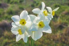 Um ramalhete dos narcisos amarelos brancos com um centro amarelo contra um céu azul e uma grama em um dia ensolarado Fotografia de Stock Royalty Free