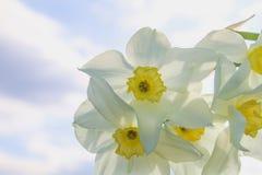 Um ramalhete dos narcisos amarelos brancos com um centro amarelo contra um céu azul e uma grama em um dia ensolarado Fotografia de Stock