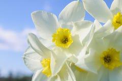 Um ramalhete dos narcisos amarelos brancos com um centro amarelo contra um céu azul e uma grama em um dia ensolarado Fotos de Stock Royalty Free