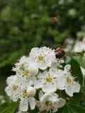 Um ramalhete pequeno das flores brancas com uma abelha que recolhe o pólen delas fotografia de stock royalty free