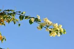 Um ramo bonito da buganvília que curva-se para baixo contra o céu dos azuis celestes Imagens de Stock Royalty Free