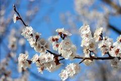 Um ramo com as flores brancas do abric? com um fundo bonito da natureza foto de stock